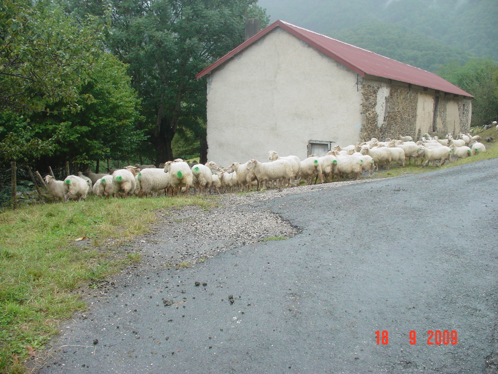 eine Schafherde kreuzt den Weg