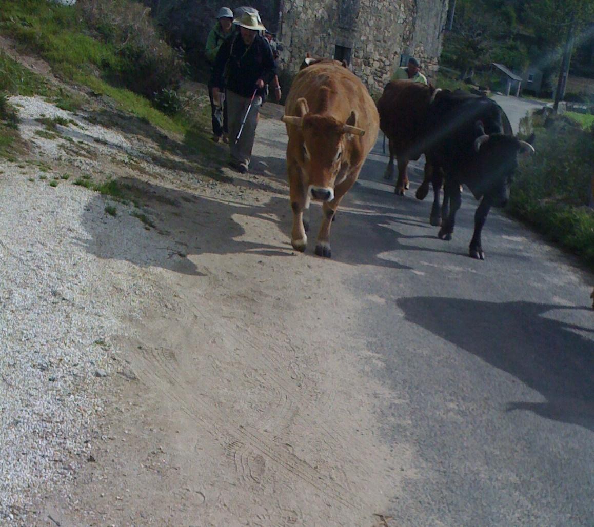 Pilger zwischen der Kuhherde